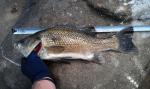 48cm Bass