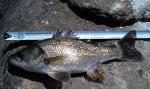 36cm Bass