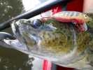 Mary River Cod on homemade lure