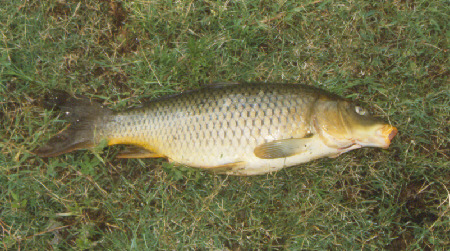 Carp fishing common and mirror british expats for What does carp mean