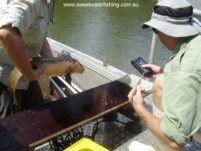 Tags are inserted under the skin. These can be scanned if the fish is recaptured.
