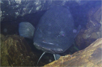Murray Cod guarding eggs