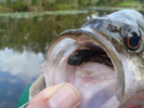 The Wiggle Minnow fly down the hatch